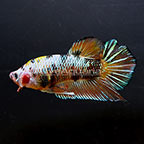 Plakat Betta, Male (click for more detail)