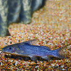 Synodontis Serpentis Catfish (click for more detail)