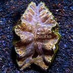 Biota Cultured Hippopus Clam (click for more detail)