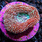 USA Cultured Speckled Bowerbanki Coral (click for more detail)