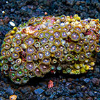 Aussie Passion Flower and Green Ogre Colony Polyp Rock Zoanthus IM (click for more detail)