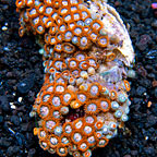 Clown Paint Colony Polyp Rock Zoanthus Tonga IM (click for more detail)