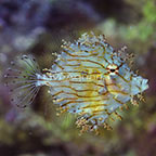 Tasseled Filefish (click for more detail)