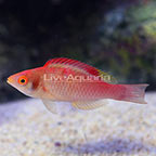 Decorated Fairy Wrasse Terminal Phase Male (click for more detail)